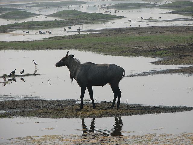 Blue_bull-Bharatpur