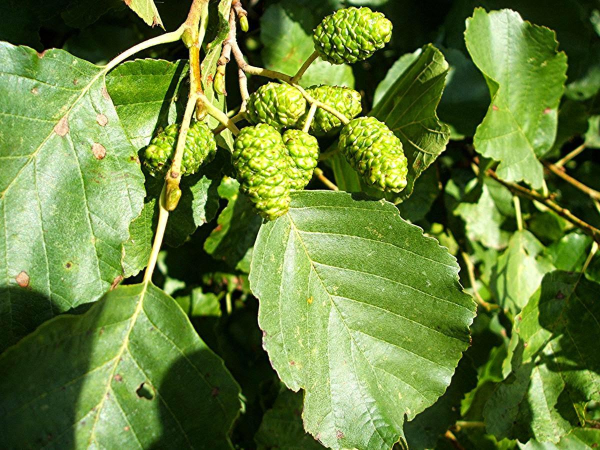 Benefits Of Alder (Alnus Glutinosa) For Health