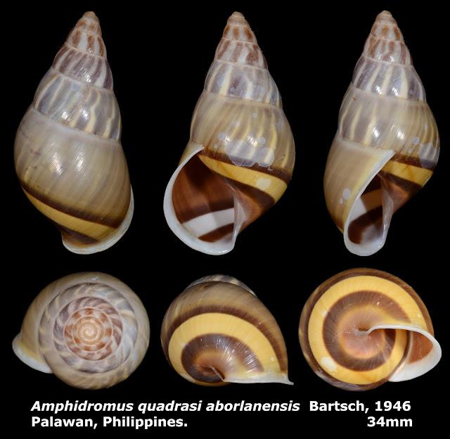 Amphidromus quadrasi aborlanensis 34mm