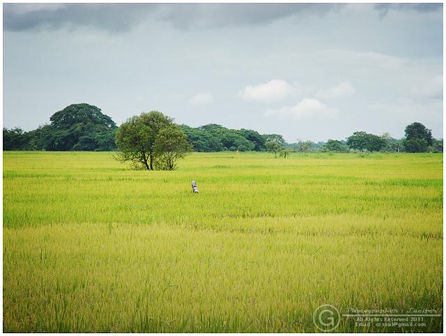 Photograph Field Rice