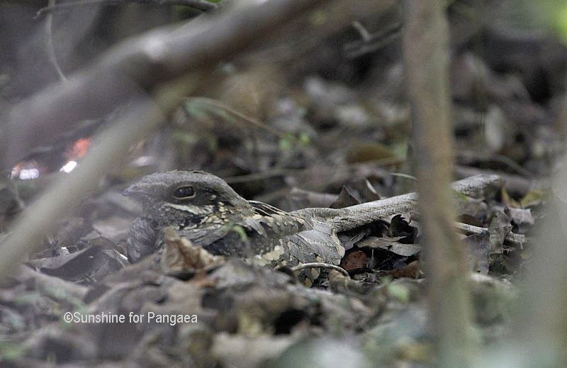 Long-tailed Nightjar  in Gambia