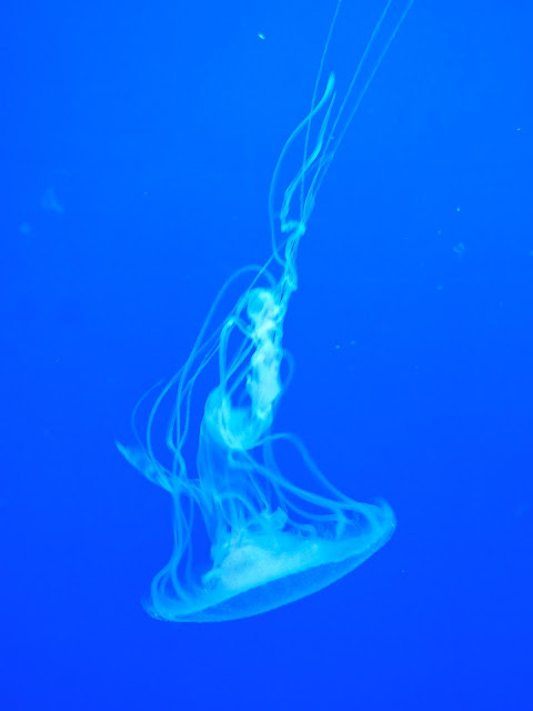 Blue glowing jellyfish upside down in Ocean Park, Hong Kong