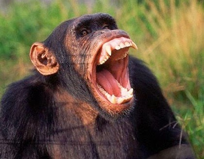 Chimps are Natural Bor...