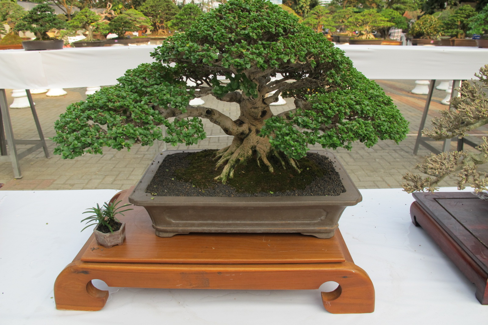 Exotic Garden Info Bonsai