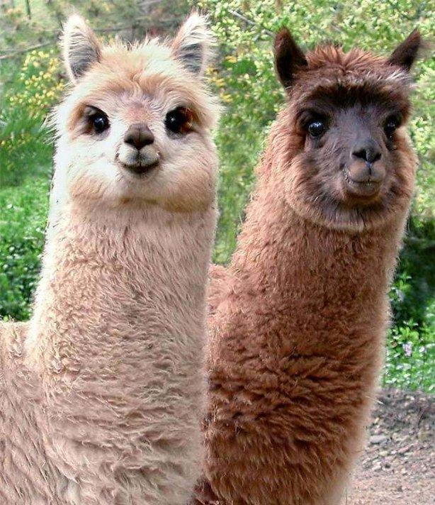 Llama Wallpaper: Beckham Wallpaper: Llamas Come In A Variety Of
