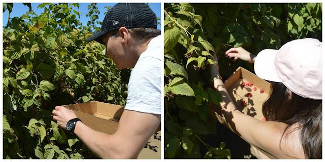 Raspberry picking at Remlinger Farms