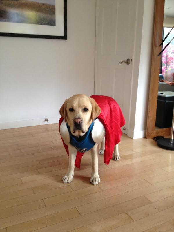 Labrador Cooper superhero costume