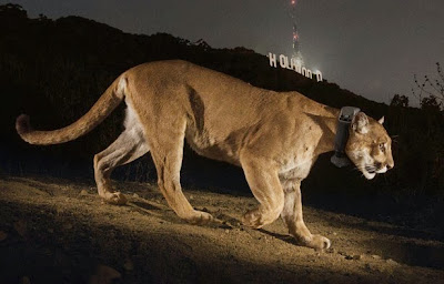 http://ngm.nationalgeographic.com/2013/12/cougars/chadwick-text
