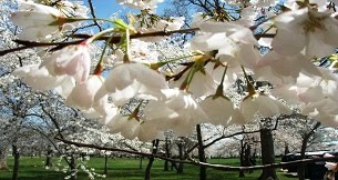Cherry blossoms, the call for the arrior, planets in Aries