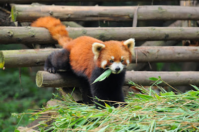 red panda chengdu china