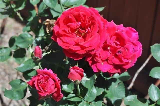 roses coloradoviews.filminspector.com
