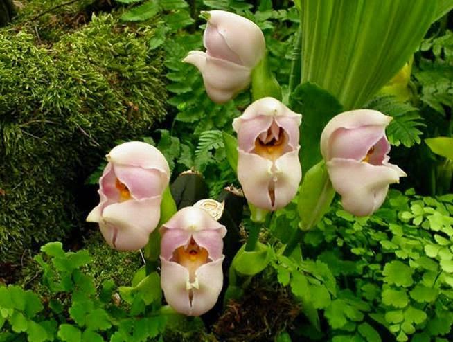 Image result for tanaman unik Bayi Terbungkus di Amerika Selatan