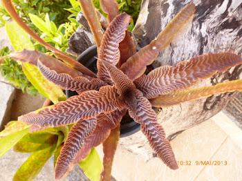 Bromélia (Orig. América do Sul)