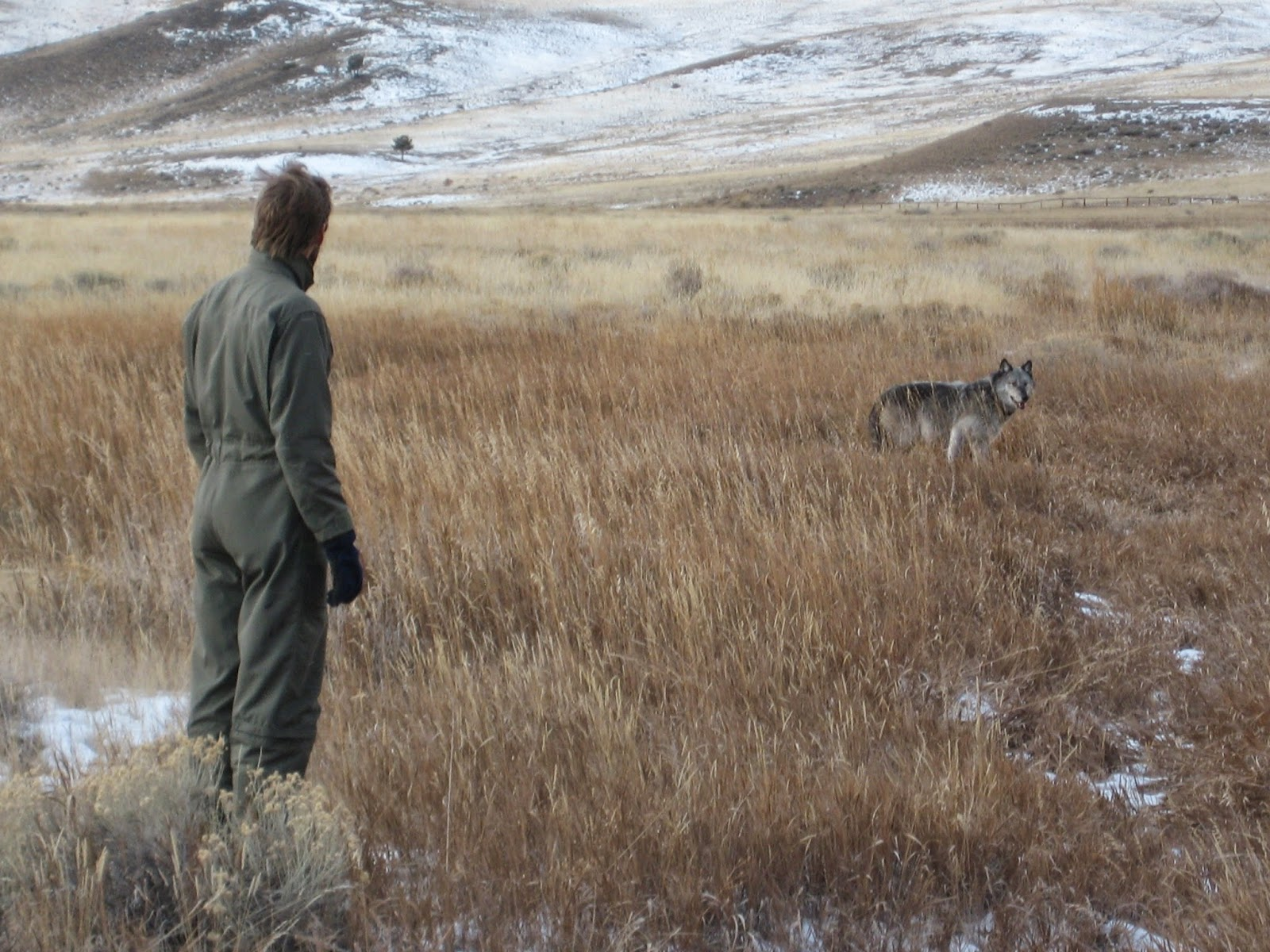 dr middleton releases a wolf in yellowstone after fitting it with a gps collar to study elk wolf interactions photo ron blanchard