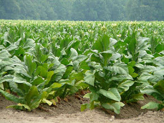 Planta de tabaco