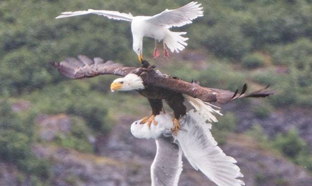 Dos gaviotas quieren comerse un águila