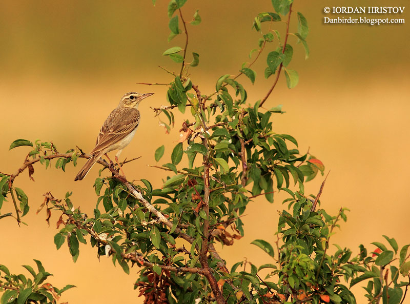 Tawny pipit photography in Bulgaria