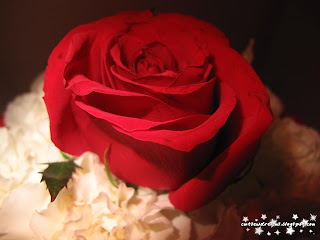 red rose,rose,flower, red,