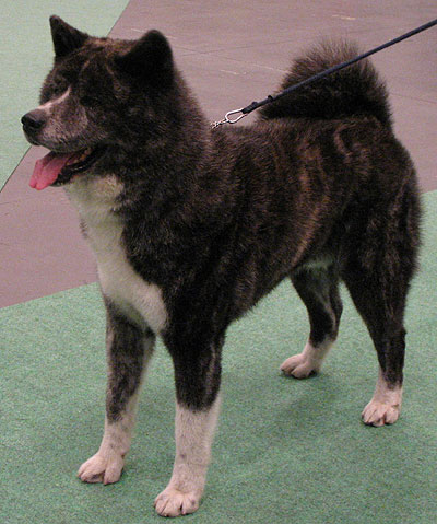 Japanese Fighting Dog Akita