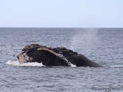 Balea Franca