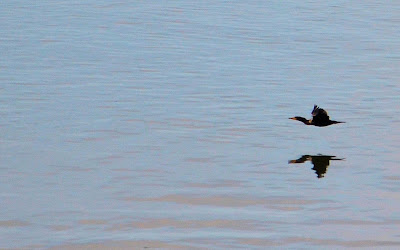 photo of bird over Netarts Bay Oregon by Nancy Zavada