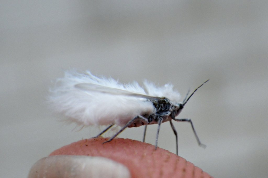 The. Nature Posts  Fuzzy White Flying Bugs