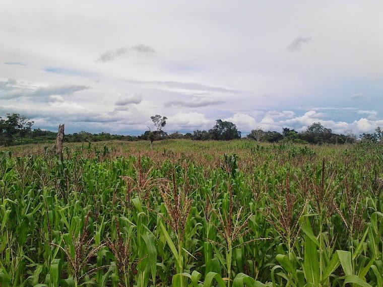 Tanaman jagung di Desa Saing Prupuk