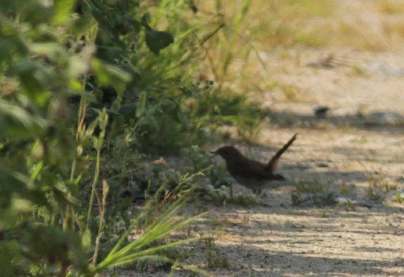 Rufous-tailed Bush Robin