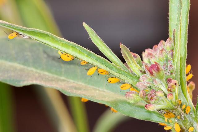 Oleander Aphids on Milkweed