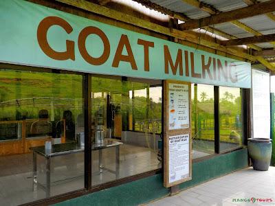 Mango Tours Tagaytay Paradizoo goat milking