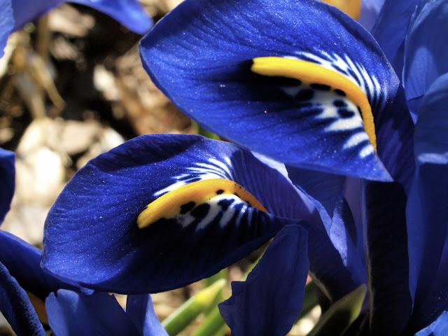Iris Reticular, Central Park, Conservatory Garden, NYC