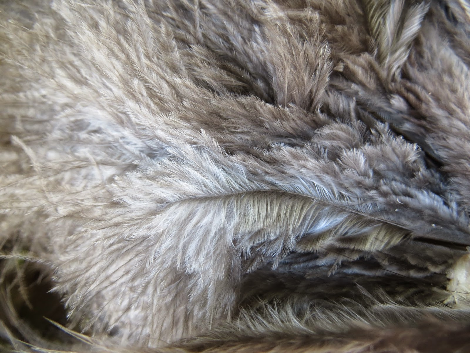 Insulating feathers of black orpington hen
