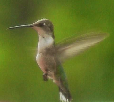 Hummingbird I Met