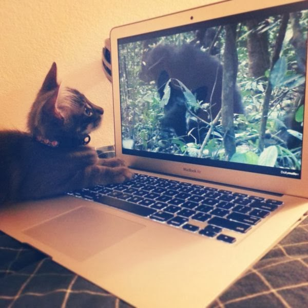 Funny cats - part 93 (40 pics + 10 gifs), kitten watching gorilla video