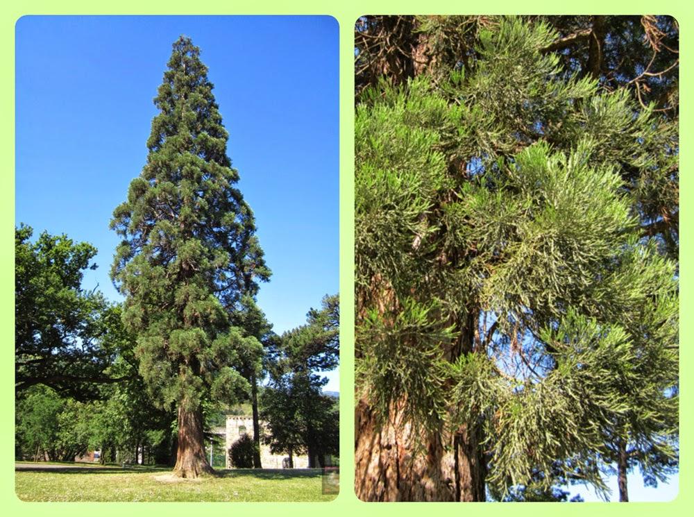 Secuoya gigante, sequoia gigante, árbol de mamut. Sequoiadendron giganteum