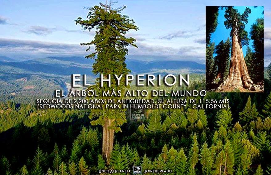 Mundo el hyperion el rbol m s alto del mundo for Arbol mas grande del mundo