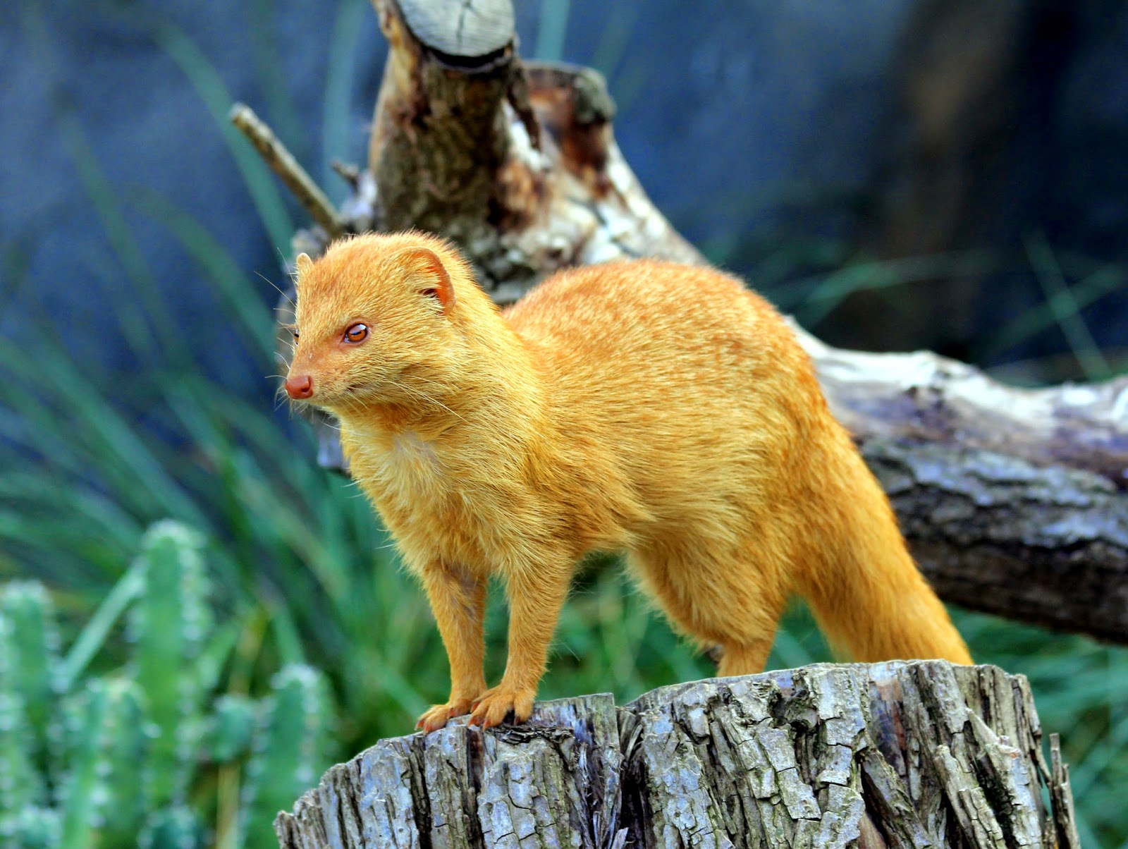 Golden Slender Mongoose