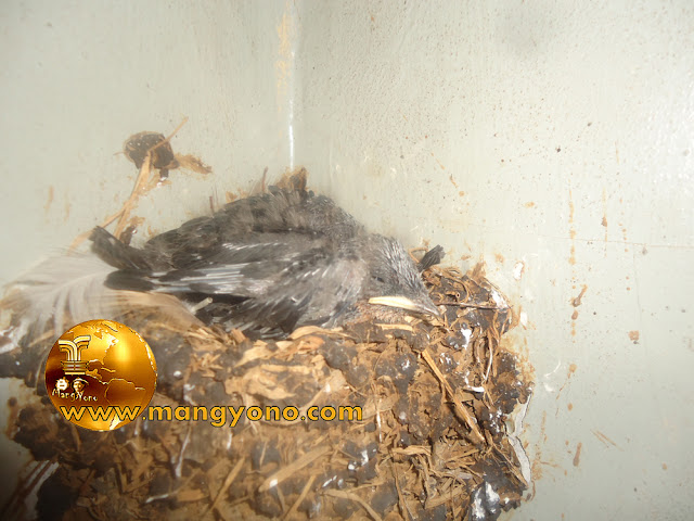 FOTO : Anak burung layang - layang di sarang.