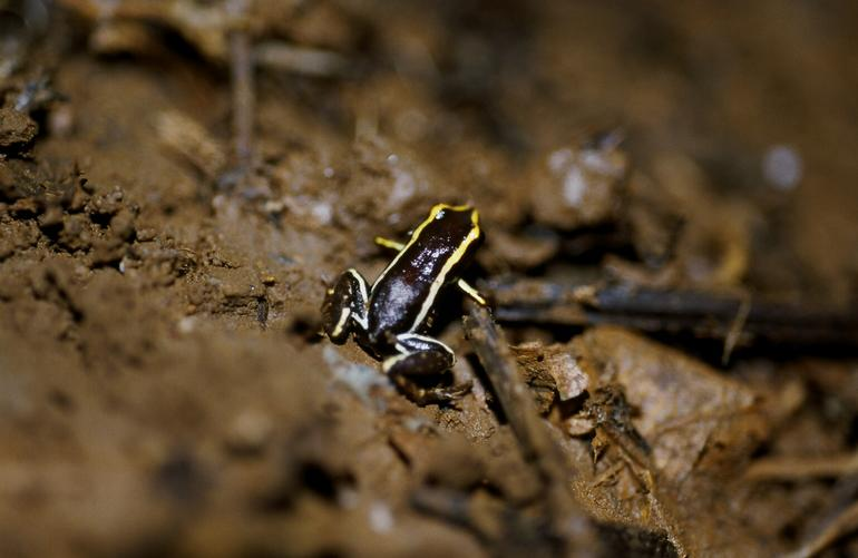 monte iberia eleuth the monte iberia eleuth is a tiny species of frog ... Monte Iberia Eleuth Frog
