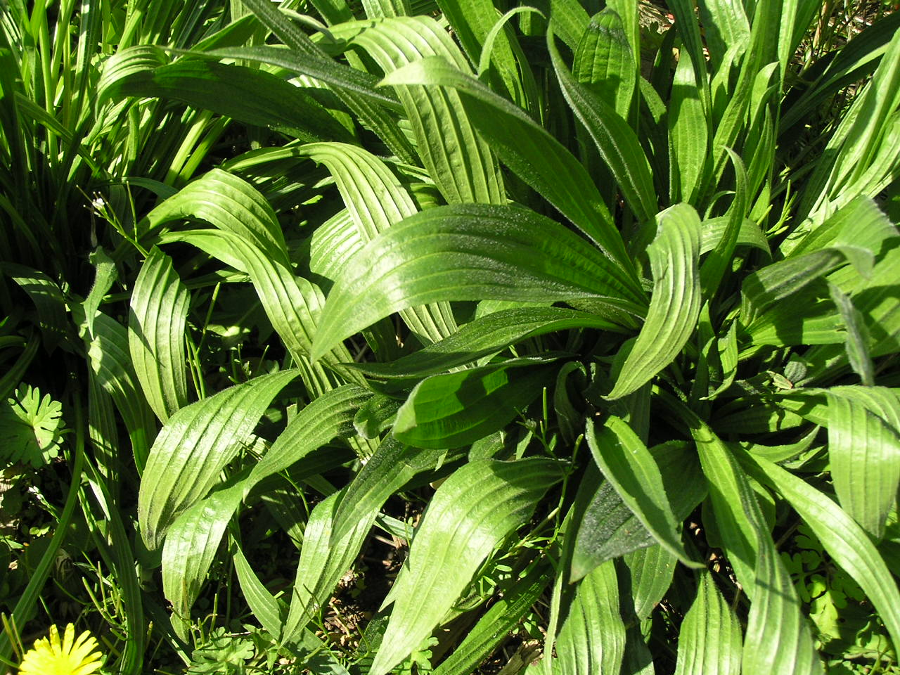 Weeds in flower beds identify - Plantain Edible Weeds