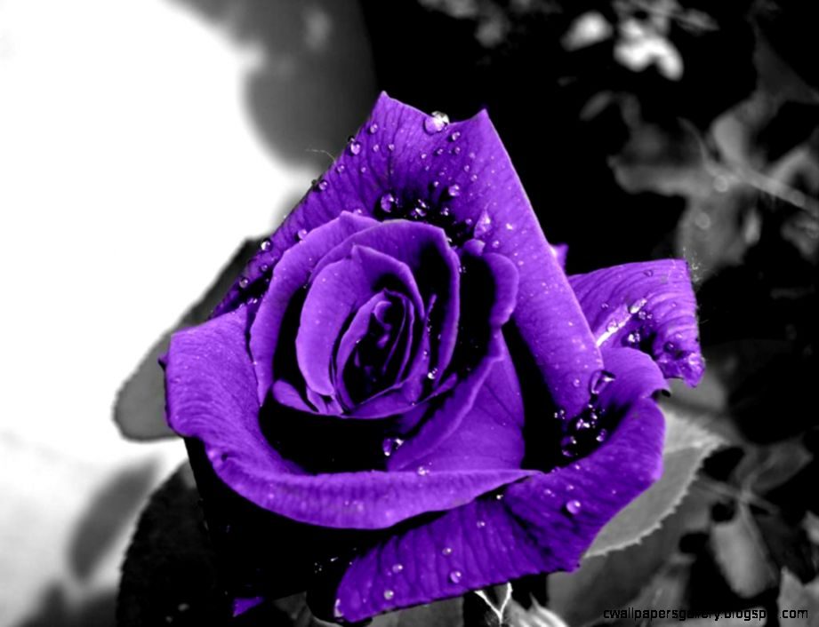 Purple Rose Pictures  Full HD Pictures