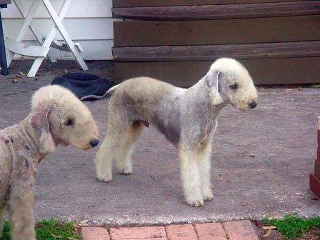 Bedlington Terrier Crufts 2013 ALTERNATIVE BEDLINGTON...
