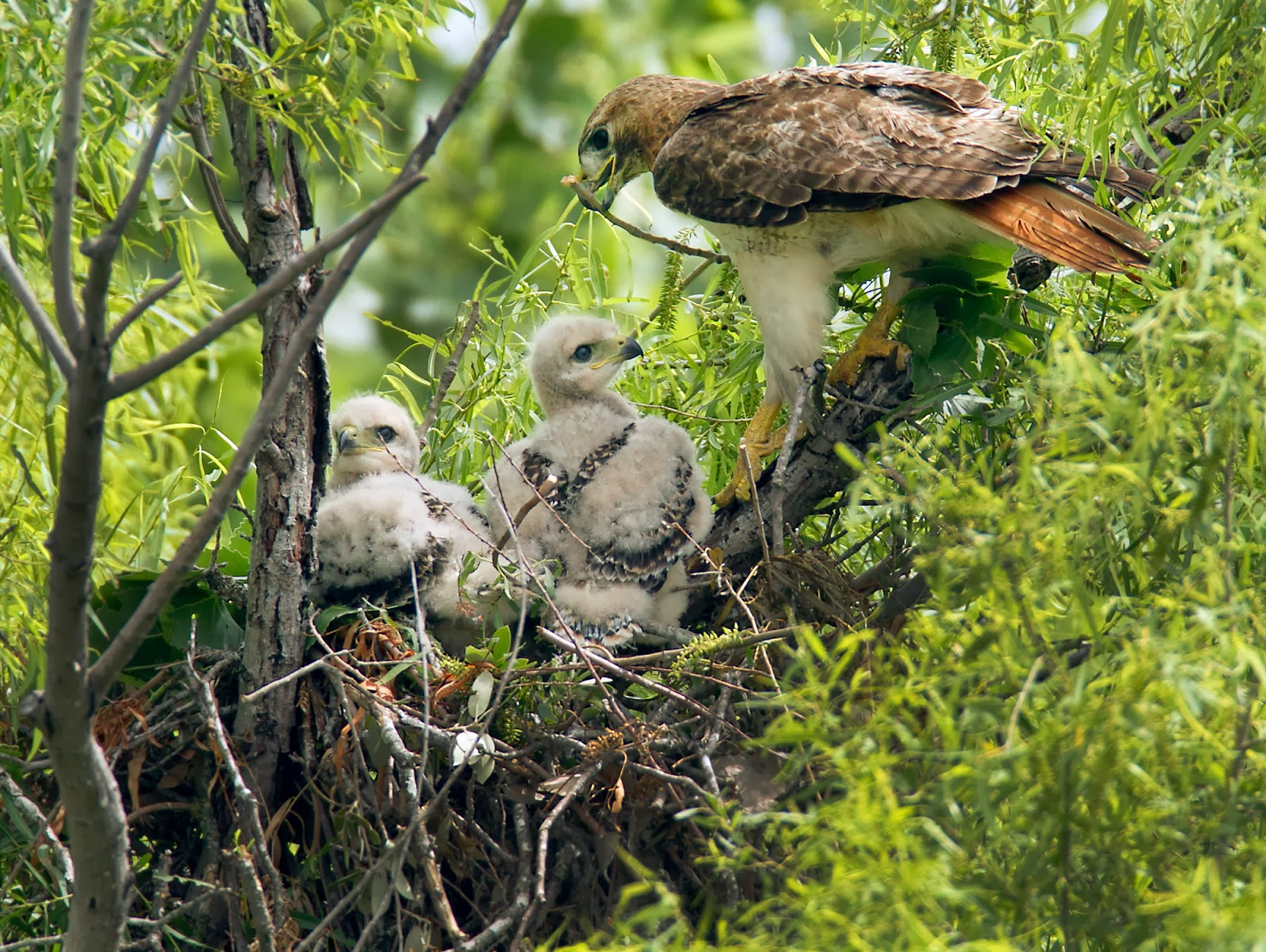 red tailed hawk nest
