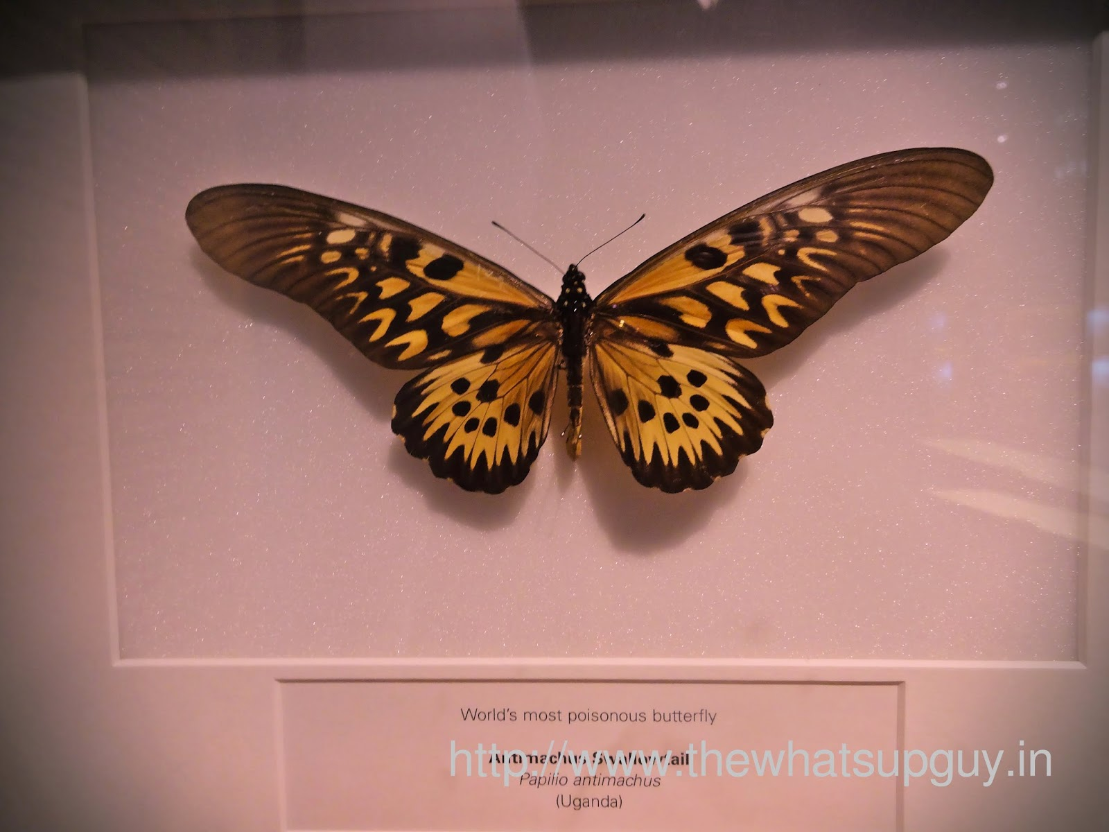 Melbourne Museum Worlds Most Poisonous Butterfly