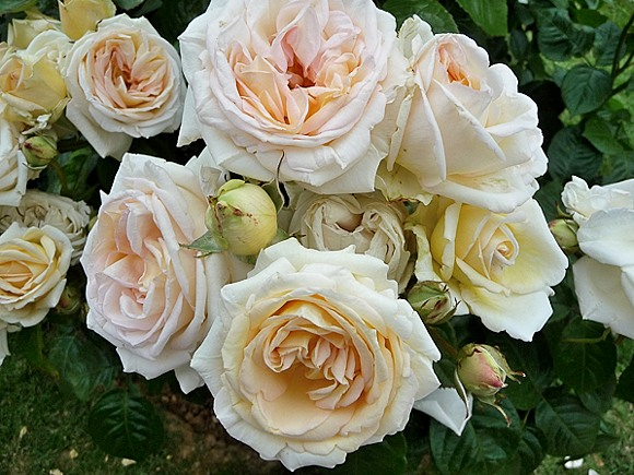 Madame Anisette rose сорт розы фото