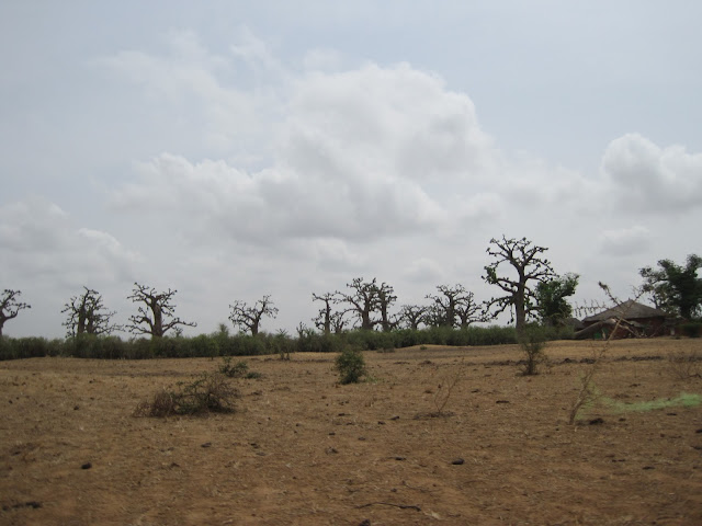 Bosque de baobabs en Senegal