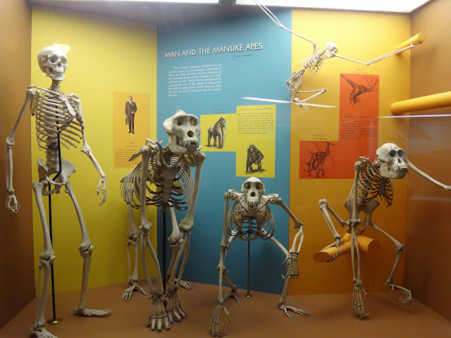 The skeleton of Man in manlike ape at National History Museum in Washington DC, USA