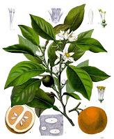 Bitter Orange Essential Oil: Neroli