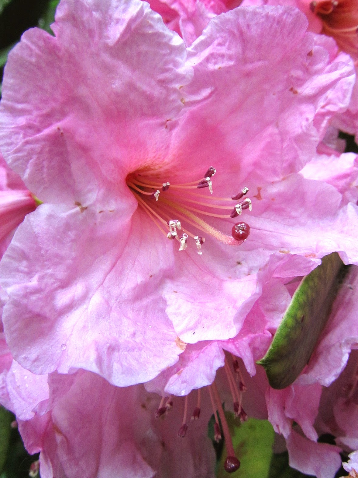 pink hibiscus?