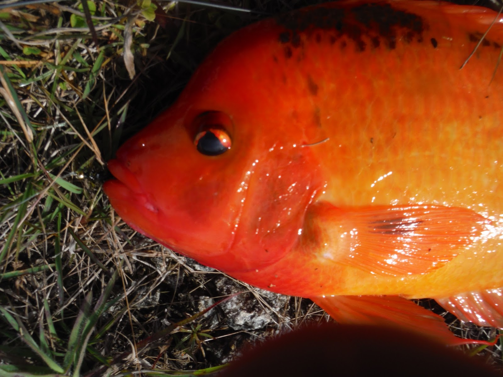 Fly Fishing the West with Howard: Midas Cichlids, Turtles and ...